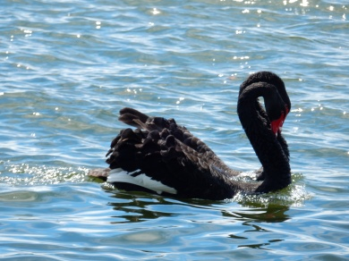 Sync Swan Swimming