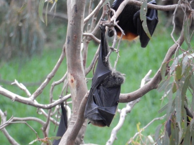 Red headed flying fox