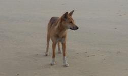Spotted a dingo on Fraser!