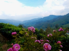 View from the top of the mountain at Boh Tea Plantation