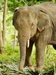Beautiful elephant, captured to pleasure tourists....