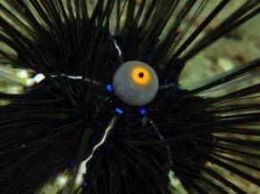 Photo credit: http://keealfian-reefbioecologist.blogspot.com/2008/04/misconception-of-sea-urchin.html