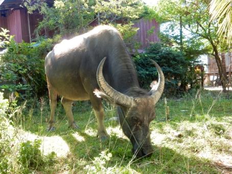 Buffalo next to the road